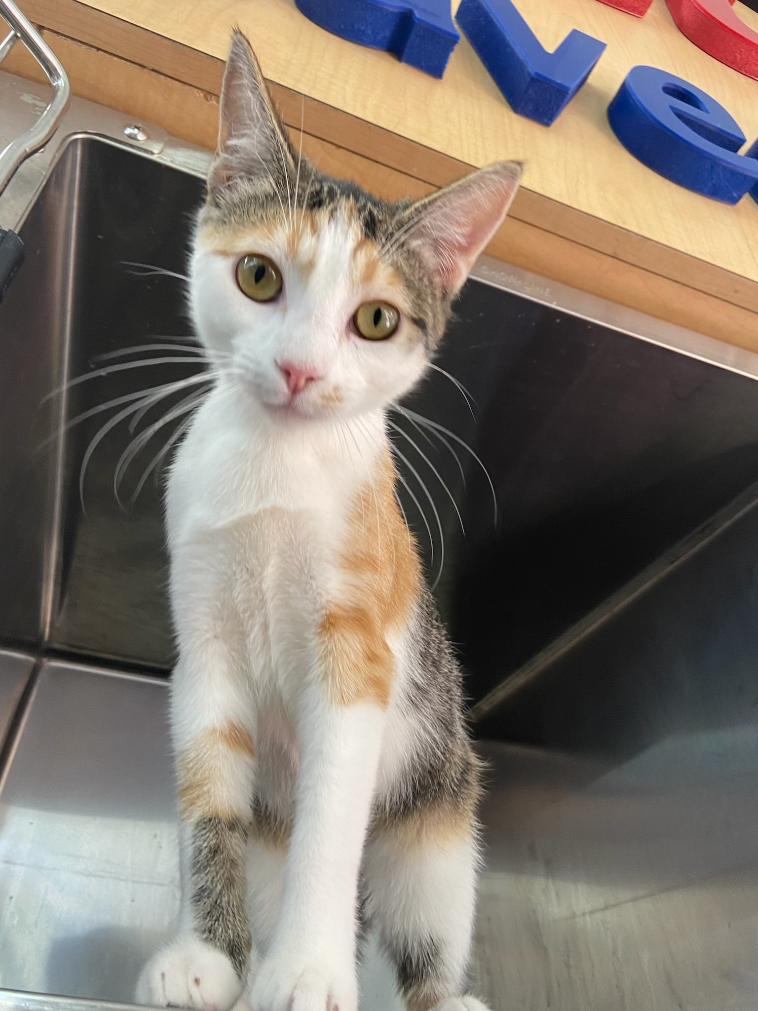 Three Paws Rescue - Butterscotch