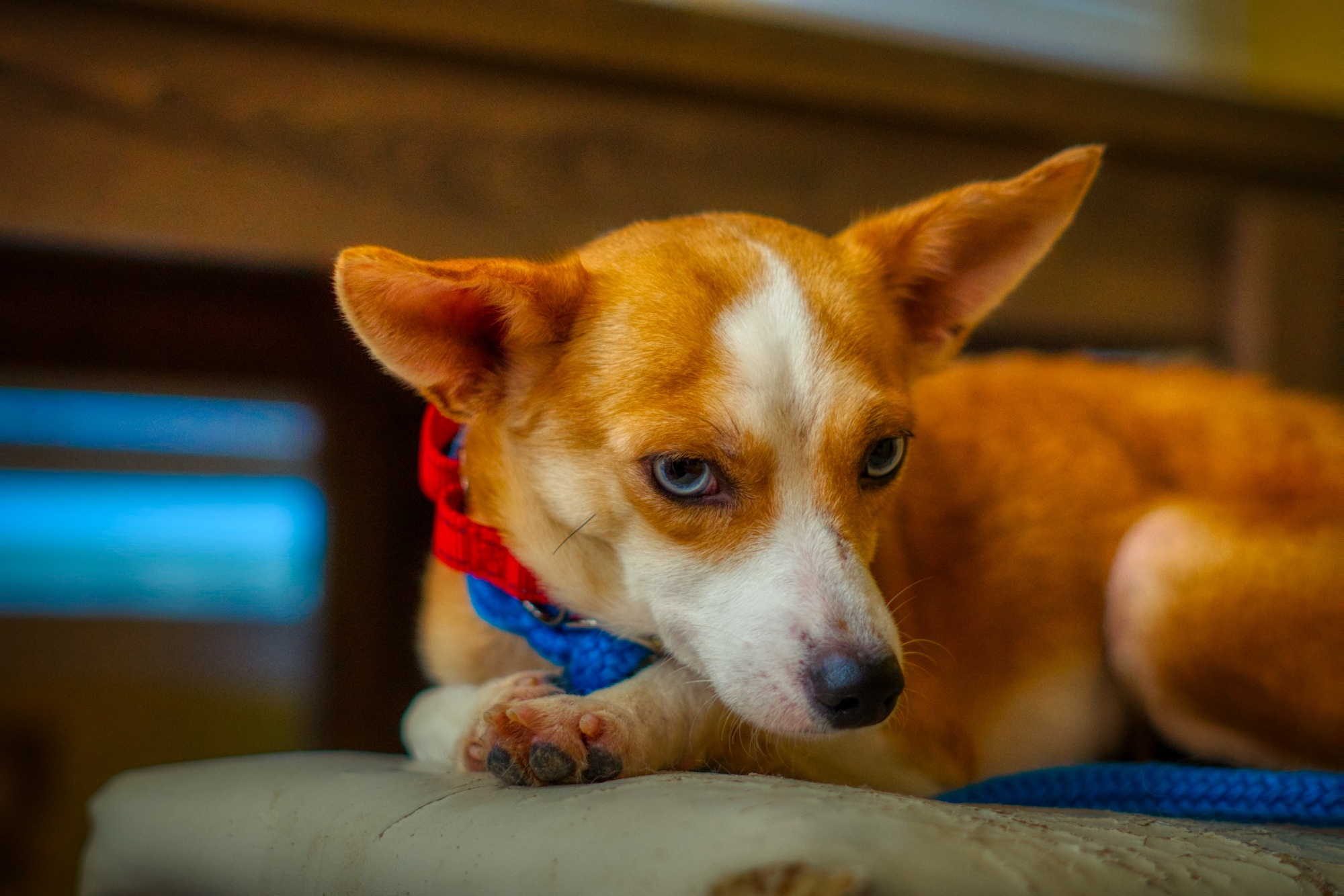 Three Paws Rescue - Bell